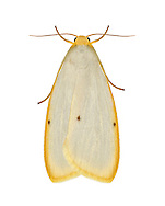 72.038 (2040)<br /> Four-dotted Footman - Cybosia mesomella