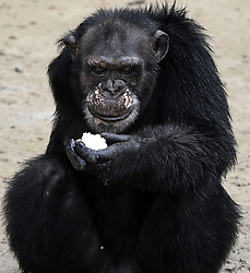 March 8, 2016 - Washington, DC, U.S - Chimpanzee named Bullet awaits food. He broke his arm when a bullet pierced it after killing his mother and was given for research by a Spanish pilot who said to ''kill it if the arm couldn't be repaired'' according to his records at New York Blood Center.  He survived but lost his arm and freedom, spending most of his life in a cage.  HSUS and NYBC came to an agreement recently after years of discussion about the care of research chimps NYBC abandoned in Liberia.  In March 2016, a team from Humane Society of the United States visits Liberia in West Africa to view situation with research chimpanzees abandoned by New York Blood Center, which stopped all funding for food and water and also refused to pay for their caregivers who used their own meager finances to continue feeding them. They now live on six islands serving as a sanctuary run by Jenny and Jim Desmond.  The HSUS has stepped in to assist and improve the dire situation in which the chimpanzees were literally left to die if not for the heroic efforts of their original caregivers who had worked for New York Blood Center and were abandoned as well. Photo by Carol Guzy/Freelance for HSUS March 8, 2016 (Credit Image: © Carol Guzy via ZUMA Wire)