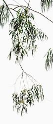 Eucalyptus camaldulensis #2