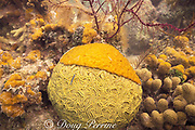 brain coral, Diplora sp., under attack from coral-killing colonial tunicate, Tridemnum sp.,<br /> Belize ( Caribbean Sea )