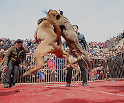 YUNCHENG, CHINA - FEBRUARY 22: (CHINA OUT) <br /> <br /> Dog Fighting Competitions In China where the owners of participants would win a packet of cigarettes and a water glass. <br /> <br /> People crowd to watch dog fighting competitions at Sanjiao Village on February 22, 2015 in Yuncheng, Shanxi province of China. Dog fighting competitions organized by six villagers was held in Qinghe County, Yuncheng in China's Shanxi province during the Spring Festival. The competitions were themed as Friendship First, Competition Second and owners of participants would win a packet of cigarettes and a water glass. <br /> ©Exclusivepix Media