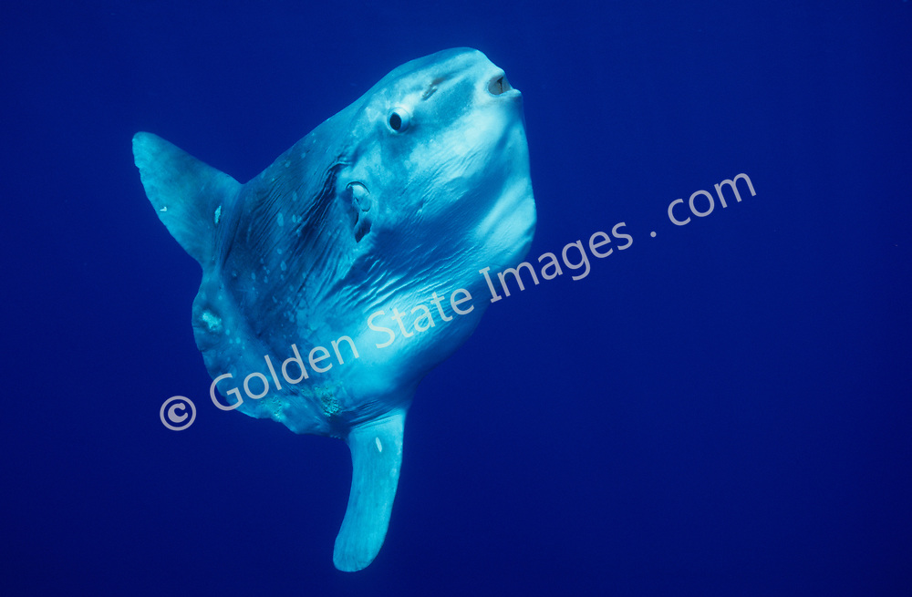 Ocean sunfish feed on jellyfish and other plankton. They can weigh up to 3000 pounds and are often found beneath drift kelp. <br /> <br /> As for predators, sea lions are commonly seen tearing their fins off leaving them unable to swim. <br /> <br /> The Ocean Sunfish is the heaviest known bony fish in the world. <br /> <br /> A Sunfish produces millions of eggs in a single spawn. <br /> <br /> Their truncated tail is called a Clavus. <br /> <br /> Range: Warm and temperate seas of the world. Moves inshore off California during summer months <br /> <br /> Species: Mola mola