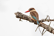 Brown-hooded kingfisher (Halcyon albiventris) from Kruger NP, South Africa.