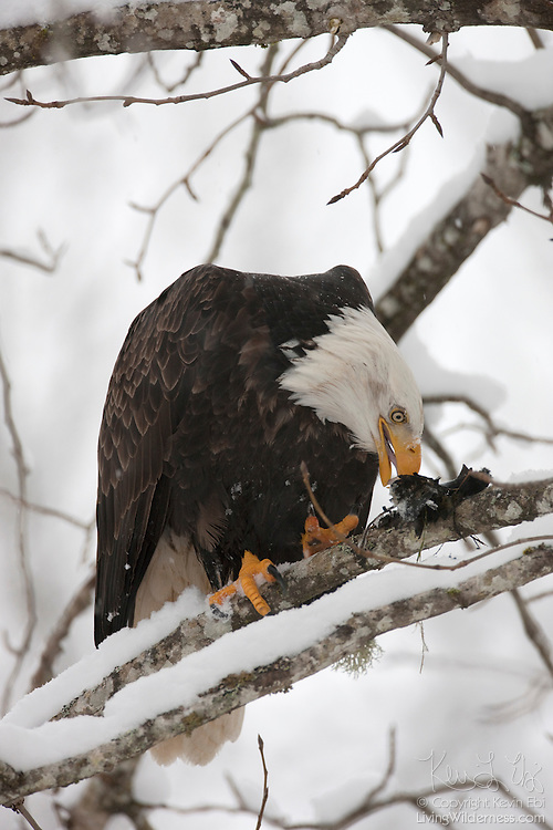 A bald eagle (Haliaeetus leucocephalus) feeds on a salmon carcass that it carried up to a tree branch above the Cheakamus River near Brackendale, British Columbia, Canada.