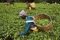 Kenya, Kericho county, Kericho, cueillette du thé, Evaline Chebe 35 ans // Kenya, Kericho county, Kericho, Evaline CHebe, 35 old, tea picker picking tea leaves