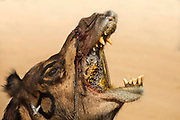 Laughing camel at the Desert Festival on 29th January 2018  in Jaisalmer, Rajasthan, India. It is an annual event that take place in February month in the beautiful city Jaisalmer. It is held in the Hindu month of Magh February, three days prior to the full moon.
