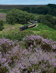 © Licensed to London News Pictures. 21/08/2016. Goathland, UK.  The 45428 Eric Treacy locomotive passes the purple flowering heather near Goathland on the North Yorkshire Moors Railway.  Photo credit: Anna Gowthorpe/LNP