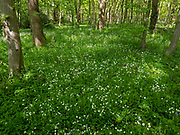 Greater stitchwort (Stellaria holostea) flower, East Blean Woodlands, Kent, UK