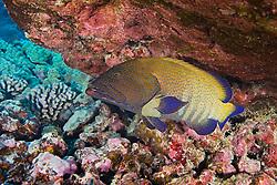 Peacock Grouper, Cephalopholis argus, roi in Hawaiian, off Kona Coast, Big Island, Hawaii, Pacific Ocean