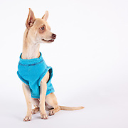 A Chihuahua gazes off at an assistant during his portrait session.