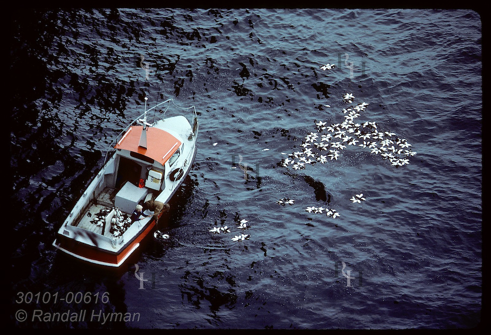 Man in boat off Bjarnarey Isle collects dead puffins tossed off cliffs to him by hunters in July Iceland
