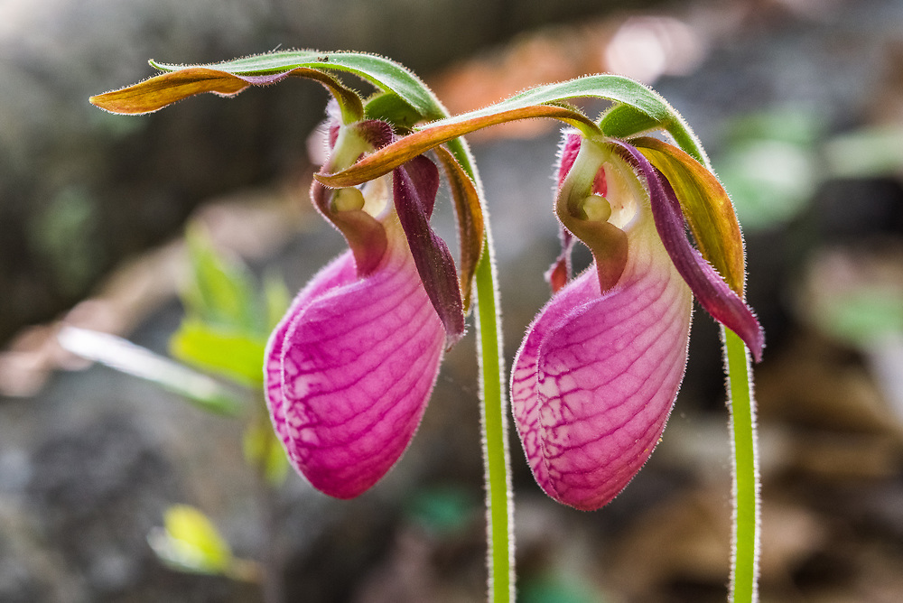 A close up shot of two pink lady's slippers, a wildflower found in the New River Gorge in West Virginia.