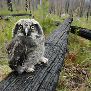 Northern hawk owl (Surnia ulula) fledgling sitting on top of burnt log. Glacier National Park, Montana