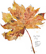 Maple Leaf at the Bellevue Botanical Garden.<br />
