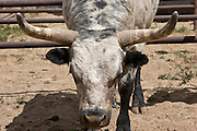 Looking into the face of a rodeo bull.