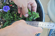Rooftop garden experiment plants are monitored for growth using different soil, irrigation and fertilizers combinations