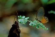 Tropical Glasswing Butterfly (Haetera piera) on Fern - Amazonia, Peru