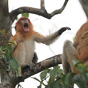 Proboscis monkey (Nasalis larvatus) baby, Sekonyer river, Tanjung Puting National Park. Borneo