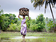 Woman carrying a basket of leaves for farming on her head in a rice paddy, Cochin, Kerala, India