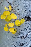 Close up of yellow aspen leaves against an aspen trunck, Colorado, USA