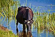 Krowy na biebrzańskich łąkach, Polska<br /> Cows on the Biebrza meadows, Poland