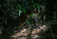 The Indochinese leopard (Panthera pardus delacouri) is a leopard subspecies native to mainland Southeast Asia and southern China. The worldwide population trend is suspected to be decreasing. As of 2016, the population is thought to comprise 973–2,503 mature individuals, with only 409–1,051 breeding adults. Their historical range has decreased by more than 90%.