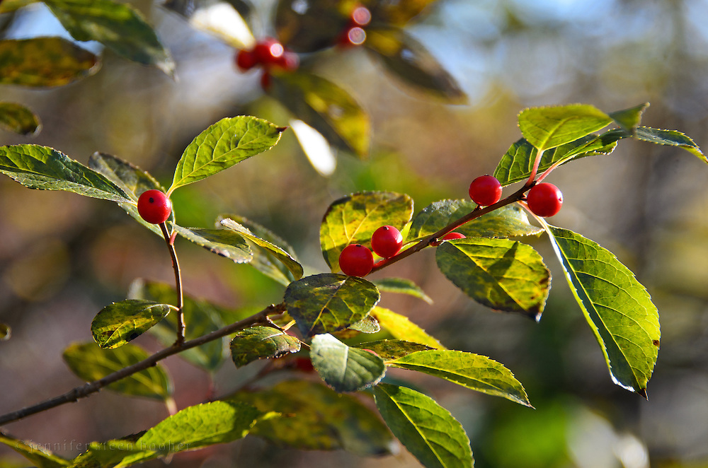 A branch of Winterberry (Ilex verticillata) glows as it is backlit by the morning sun, Acadia National Park, Maine.