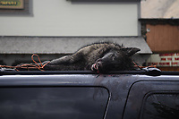 Dead wolf on Jackson Town Square