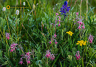 Prairie wildflowers along the Rocky Mountain Front near East Glacier, Montana, USA
