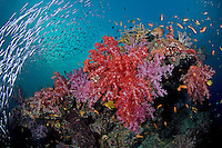 Rainbow of Soft Corals, Anthias, and Fusiliers