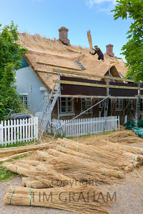 Thatchers thatching new roof traditional method with stooks of reeds/rushes on thatched cottage, Fano Island, Denmark