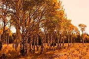 Golden Fall Color in Aspens Grand Teton National Park