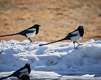 Black-billed Magpie at Rocky Mountain National Park. Image taken with a Nikon D300 camera and 300 mm f/2.8 lens (ISO 200, 300 mm, f/8, 1/500 sec).