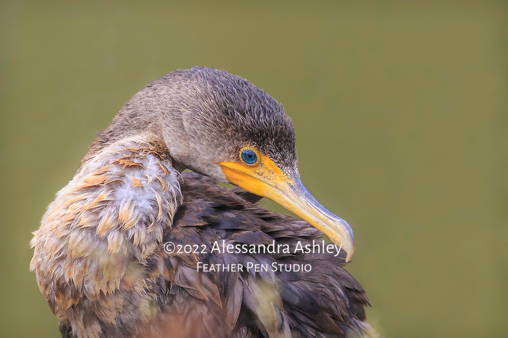 Young double crested comorant found drying feathers onshore after fishing at the Clear Fork reservoir in central Ohio.