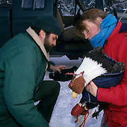 Bald Eagle (Hailiaeetuus leucocephalus).   Bill Zack and Mary Kralovec attend to an injured bird in the Chilkat River Valley,  Alaska.