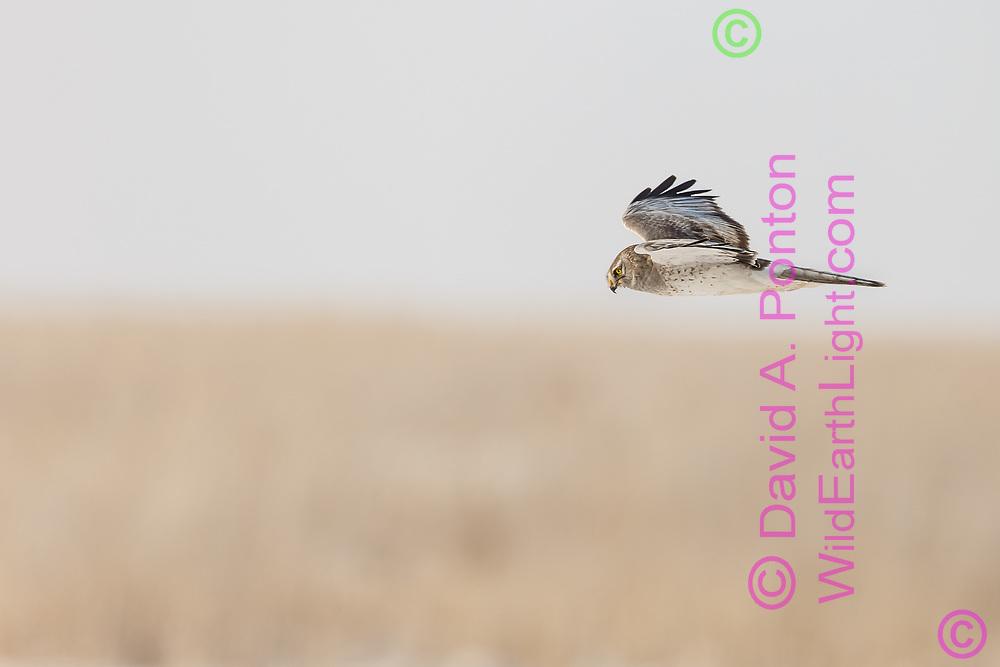 Northern harrier adult male patrols open country, Utah, © David A. Ponton