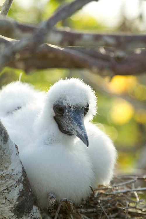 Portrait of a baby  Nazga (Masked) Boobie in the Galapagos Islands, Ecuador.