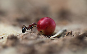 "Harvester ant (Messor hebraeus). Macrophotograph of a harvester ant carrying a seed. Harvester ants specialise in gathering different types of seeds. The ants travel in single file in two-lane ""highways"" - one lane returning to the nest whilst the other consists of ants looking for more seeds. The seeds may be stored for several months in underground chambers before being eaten."