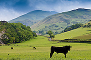 Welsh black bull with cows in valley meadow at Llanfihangel, Snowdonia, Gwynedd, Wales RESERVED USE - NOT FOR DOWNLOAD -  FOR USE CONTACT TIM GRAHAM
