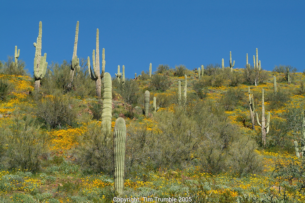 Saguaro Cactus surrounded by a field of Desert Poppies
