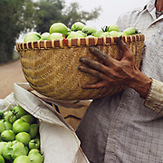 A man holding a freshly harvested bamboo basket of green tomatoes, Chi Dong village, Hanoi, Vietnam.