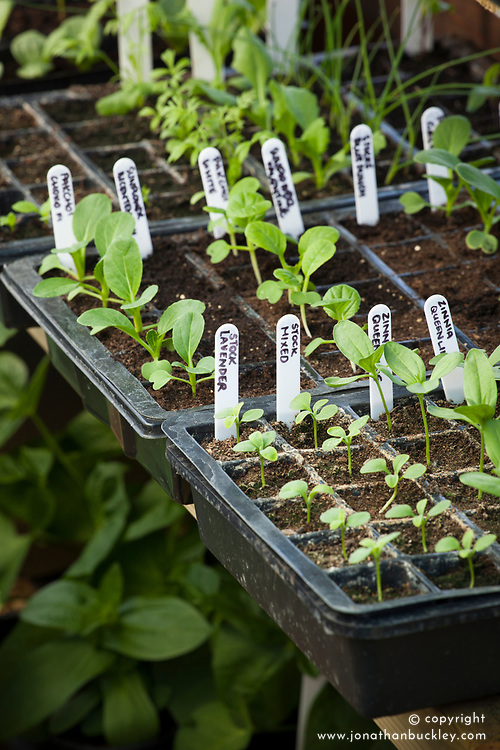 Trays of young annual seedlings growing in plastic seed tray modules in the greenhouse. Including zinnias, stock and sunflowers