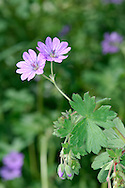 HEDGEROW CRANE'S-BILL Geranium pyrenaicum (Geraniaceae) Height to 60cm. Upright, hairy perennial found in rough, grassy places and on roadside verges. FLOWERS are 12-18mm across with pink, deeply notched petals; borne in pairs (Jun-Aug). FRUITS end in a long 'beak'. LEAVES are rounded but divided halfway into 5-7 lobes. STATUS-Probably introduced but locally common in S and E England.
