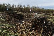Members of the Xaibé community cut sugar cane at the plot of local BSCFA member Leocadio Hoy. Belize Sugar Cane Farmers Association (BSCFA), Xaibé, Corozal, Belize. January 22, 2013.