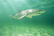 juvenile lemon shark, 3 to 4 years old, Negaprion brevirostris, Bonefish Hole, Bimini, Bahamas ( Western Atlantic )