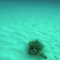Caribbean, Barbados, Carlisle Bay. Green Sea Turtle in Carlisle Bay, Barbados.