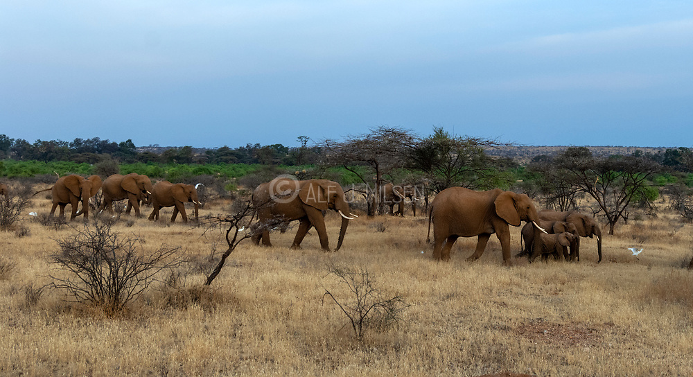 Elepghants on the move in Samburu National Reserve, kenya.