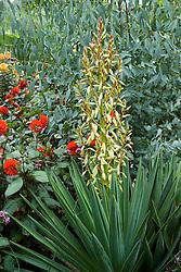 Yucca gloriosa in the exotic garden