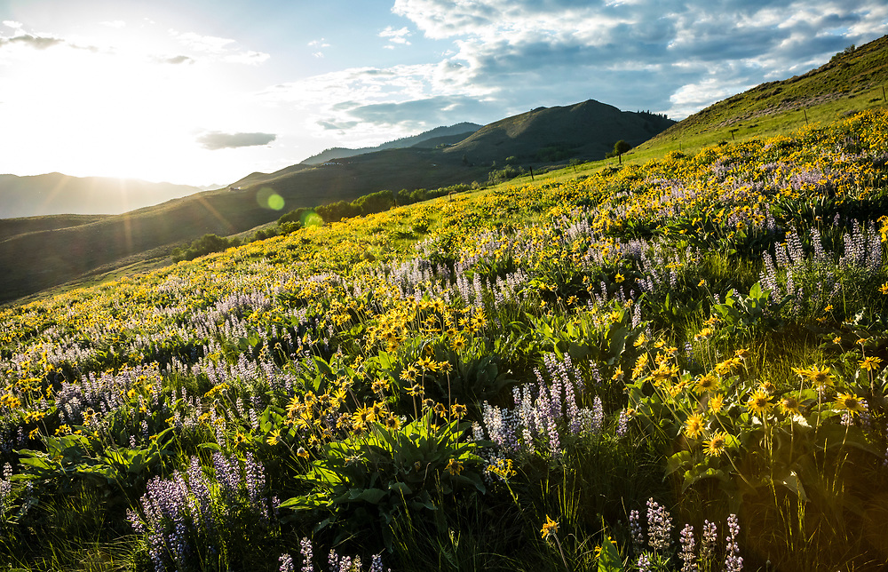 Wildflowers at sunset on Lewis Butte near Winthrop, Washington, USA.