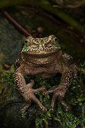 Silver Marsupial Frog (Gastrotheca plumbea)<br /> base of Chimborazo Volcano (Highest mountain in Ecuador)<br /> Andes<br /> ECUADOR, South America<br /> IUCN STATUS: Vulnerable<br /> RANGE: Pacific slopes of Andes of northern and central Ecuador 1300 -3200m